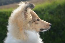 Free Dog, Dog Breed, Dog Like Mammal, Rough Collie Stock Images - 112120714