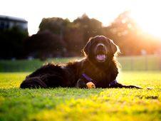 Free Dog, Dog Like Mammal, Dog Breed, Grass Stock Photo - 112120720