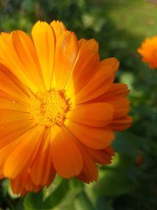 Free Flower, Yellow, Sulfur Cosmos, Orange Stock Photography - 112120852