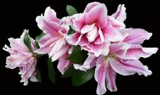 Free Flower, Pink, Plant, Flowering Plant Royalty Free Stock Images - 112121059