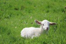 Free Grassland, Sheep, Pasture, Grazing Stock Photo - 112121120