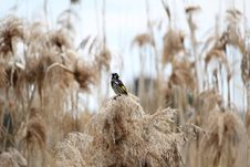 Free Grass Family, Phragmites, Bird, Grass Royalty Free Stock Photos - 112121158
