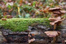 Free Fungus, Mushroom, Medicinal Mushroom, Oyster Mushroom Stock Photo - 112121250