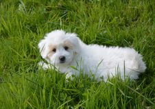 Free Dog Like Mammal, Dog, Dog Breed, Maltese Stock Images - 112121304