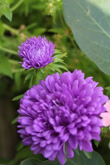 Free Flower, Purple, Plant, Aster Royalty Free Stock Photo - 112121315