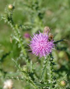 Free Silybum, Thistle, Noxious Weed, Flower Royalty Free Stock Photo - 112121605