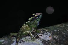 Free Reptile, Lizard, Scaled Reptile, Iguania Stock Image - 112121721