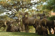 Free Five Ram Goats Beside Green Trees Stock Photos - 112184563