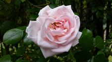 Free Rose, Flower, Rose Family, Pink Stock Photos - 112200923