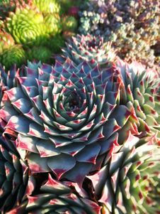 Free Plant, Flower, Cactus, Stonecrop Family Royalty Free Stock Photo - 112200925