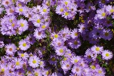 Free Flower, Plant, Aster, Flowering Plant Royalty Free Stock Photography - 112201037