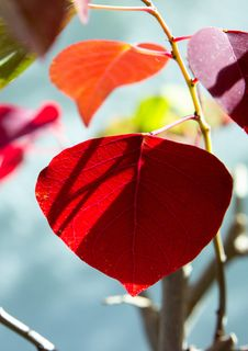 Free Leaf, Red, Plant, Petal Stock Photos - 112201043