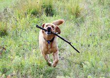 Free Dog, Dog Like Mammal, Grass, Dog Breed Royalty Free Stock Image - 112201096