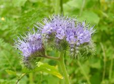 Free Plant, Noxious Weed, Flower, Silybum Royalty Free Stock Photo - 112201215