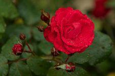 Free Flower, Rose, Rose Family, Floribunda Stock Photography - 112201562