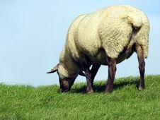 Free Grazing, Grassland, Pasture, Sheep Royalty Free Stock Photo - 112201935