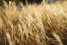 Free Wheat, Grain, Food Grain, Rye Royalty Free Stock Photo - 112277685