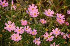 Free Flower, Plant, Flowering Plant, Garden Cosmos Stock Image - 112277881