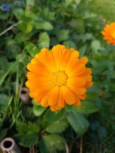 Free Flower, Plant, Calendula, Sulfur Cosmos Stock Photo - 112278060