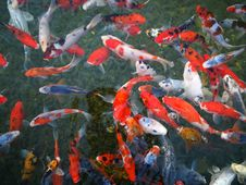 Free Koi, Fish Pond, Water, Fish Royalty Free Stock Photography - 112278067