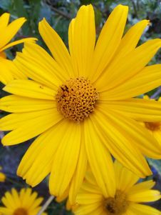 Free Flower, Yellow, Flora, Daisy Family Royalty Free Stock Photography - 112278117
