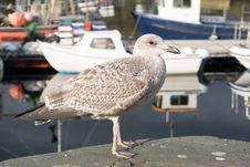 Free Bird, Seabird, Gull, European Herring Gull Royalty Free Stock Photos - 112278138
