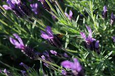 Free Plant, Purple, Flora, French Lavender Stock Image - 112278211