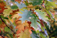 Free Leaf, Autumn, Maple Leaf, Tree Royalty Free Stock Images - 112278219