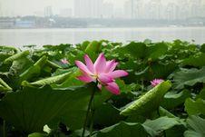 Free Flower, Lotus, Plant, Sacred Lotus Stock Photo - 112278250