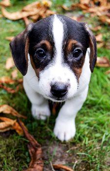 Free Dog, Dog Breed, Dog Like Mammal, Beagle Stock Images - 112278444