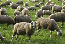 Free Herd, Sheep, Grazing, Pasture Stock Photography - 112278452