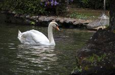 Free Bird, Swan, Waterway, Water Bird Stock Image - 112278621