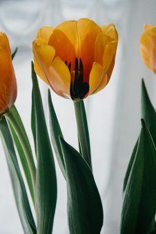Free Yellow Tulip Closeup Photo Royalty Free Stock Photo - 112301405