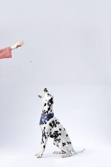 Free Dalmatian Sitting White Surface Royalty Free Stock Photo - 112301505