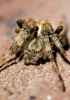Free Macro Photography Of Brown Barn Spider Stock Image - 112301541