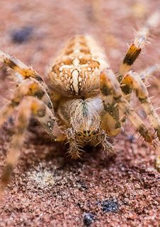Free Macro Photography Of Brown Barn Spider Stock Photo - 112301550
