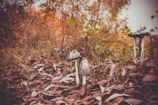 Free Inky Cap At The Road Stock Photography - 112334072