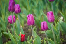 Free Tulips Blooming In The Flowerbed Royalty Free Stock Photos - 112334638