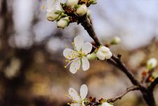 Free Selective Focus Photography Cherry Blossom Flowers Royalty Free Stock Images - 112363909