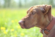 Hungarian Vizsla Dog For A Walk Stock Images