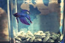 Free Selective Focis Photo Of Blue Betta Fish Royalty Free Stock Images - 112455079