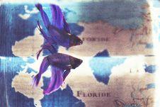 Free Close Up Photo Of Purple Betta Fish Stock Photography - 112455132