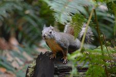 Free Squirrel, Fauna, Mammal, Fox Squirrel Stock Photos - 112473983