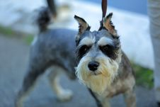 Free Dog, Dog Like Mammal, Dog Breed, Miniature Schnauzer Stock Images - 112473984