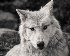 Free Wildlife, Wolf, Black And White, Fauna Royalty Free Stock Photography - 112490157