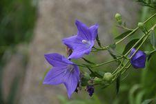 Free Flower, Flora, Plant, Bellflower Family Stock Images - 112490994