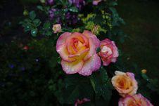 Free Flower, Rose, Rose Family, Pink Stock Photos - 112491693
