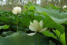 Free Flower, Plant, Lotus, Sacred Lotus Stock Photography - 112492582