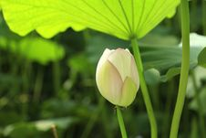 Free Flower, Lotus, Sacred Lotus, Leaf Royalty Free Stock Photos - 112492658