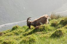 Free Fauna, Goats, Wildlife, Feral Goat Royalty Free Stock Photography - 112493187